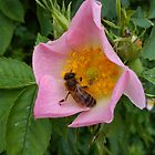 Rose Hip Blossom & Honey Bee [3] by Louise Parton