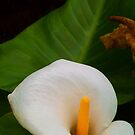 Arum Lily - Past & Present by Michael Matthews