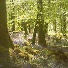 Bluebell Wood by lorrainem