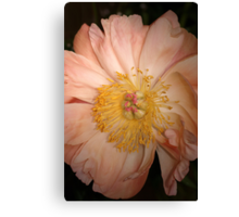 Peony in full bloom Canvas Print