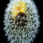 Dandelion Clock by petzl