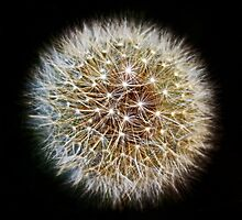 Twinkling Dandelion Clock(2) by Avril Harris