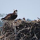 Osprey and Babies by Virginian Photography (Judy)