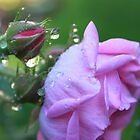 Morning Dew on Rosebud by Joy Fitzhorn