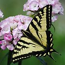Butterfly On Sweet Williams Flower by Jonice