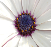 Beautiful Osteospermum White Daisy With Purple Center  Sticker