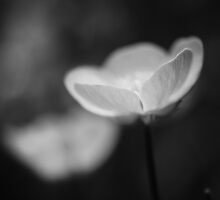Buttercup in black and white by Gitte Morten