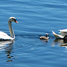The Lucky Cygnet by Nancy Richard