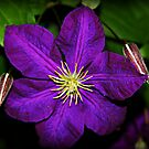 """Enchanted Clematis"" by Gail Jones"