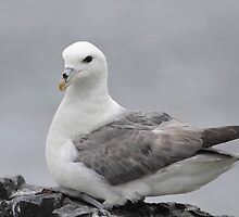 Fulmar, Farne Islands by Richard Greenwood