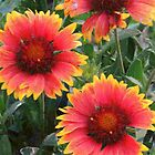Blanket Flowers by © Betty E Duncan ~ Blue Mountain Blessings Photography