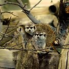 Meerkats, Mongoose, African Wildlife, Animals by Val  Brackenridge