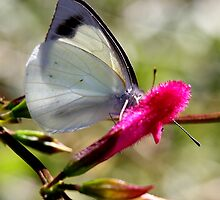 Pearl White Butterfly (3) by LeJour