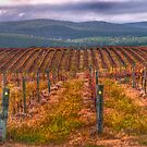 The Silence Of The Lambs - Vineyards Near Tumbarumba NSW The HDR Experience by Philip Johnson