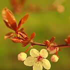 Summer cherry blossom by ruthjulia