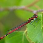 Large Red Damselfly by relayer51