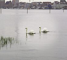 BEUTIFUL SWANS IN WARNOW RIVER  ROSTOCK by konkan