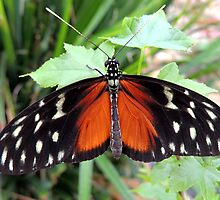 Tiger Longwing Butterfly 02 by Magic-Moments