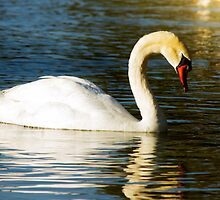 Swan by George Lenz