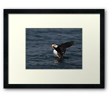 STOCK ~ Horned Puffin Just Wingin' It Framed Print