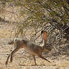 Black-tailed Jackrabbit by Kimberly Chadwick