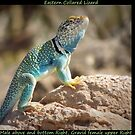 Eastern Collard Lizard ~ Collage by Kimberly Chadwick