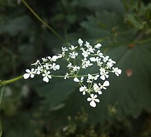 Cow Parsley by Louise Parton