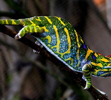 Furcifer minor -  Chameleon - Vinary - Madagascar by john  Lenagan