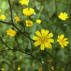 Yellow Wildflowers by Louise Parton