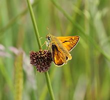 Sunlit Skipper by dilouise