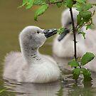 Mute swan cygnet by Steve  Liptrot
