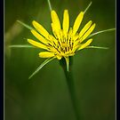 Wildflower by Pete5
