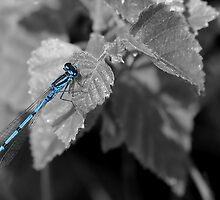 Common Blue or Azure Damselfly.  SC by relayer51