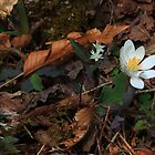 Blood root in the woods. by DHParsons