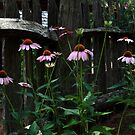 Cone flower garden by DHParsons