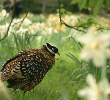 The rare Reeve's pheasant at Angelsey abbey by miradorpictures