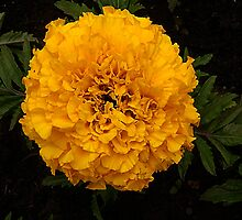 Yellow Marigold by Forfarlass