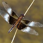 Time for the Dragonfly by PineSinger