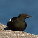 Black Guillemot by Jon Lees