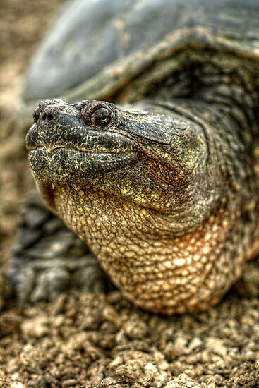 Snapping Turtle XI by EelhsaM