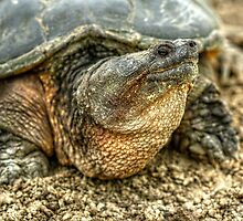 Snapping Turtle VIII by EelhsaM