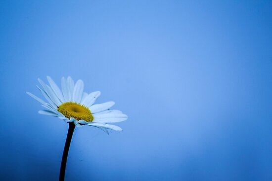 Daisy  by skid