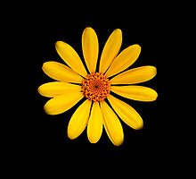 Yellow Daisy by Gunter Nezhoda