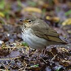 Swainsons Thrush by Wayne Wood