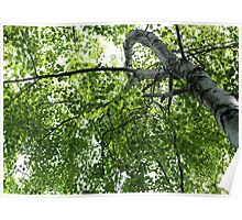 Curving Birch Poster