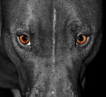 Black and White Pitbull with Deep Orange Eyes by ibadishi