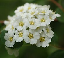 Spiraea  by marens