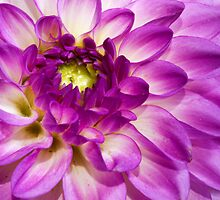 One More Dahlia by Ray Chiarello