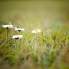 Spring Daisy by LittlePhotoHut