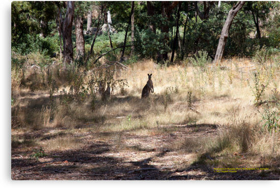 Kangaroos at Hanging Rock, Central Victoria, Australia by SNPenfold